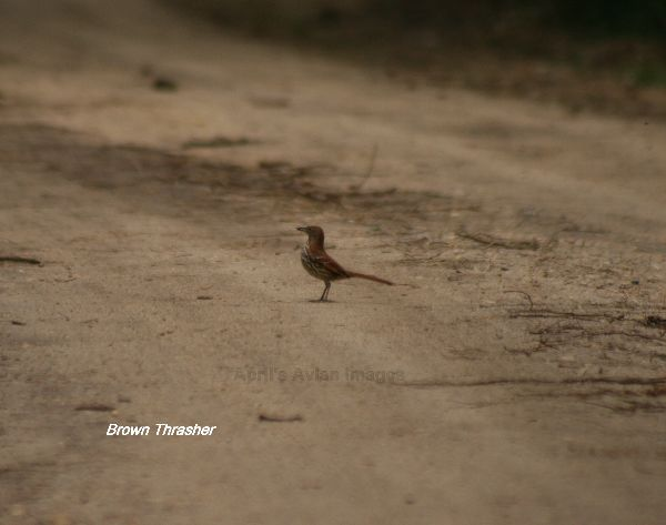 Brown Thrasher, I had to lean out of the car passenger window and turn around to get this bird that was searching the road behind the car for food, then we had to search the book for correct ID
