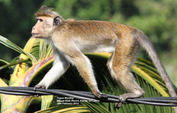 Toque Monkey
