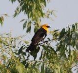 107. Yellow-headed Blackbird