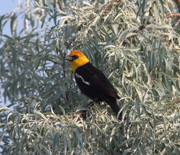 108a. Yellow-headed Blackbird