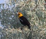 108a. Yellow-headed Blackbird