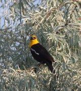 109. Yellow-headed Blackbird