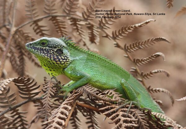 Black-naped Green Lizard