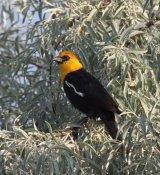 110. Yellow-headed Blackbird