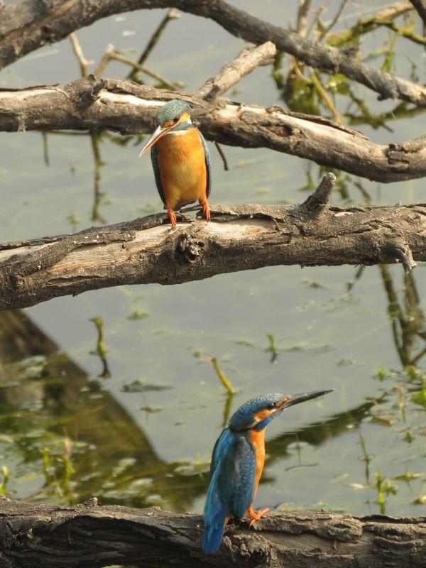 111. Common Kingfisher