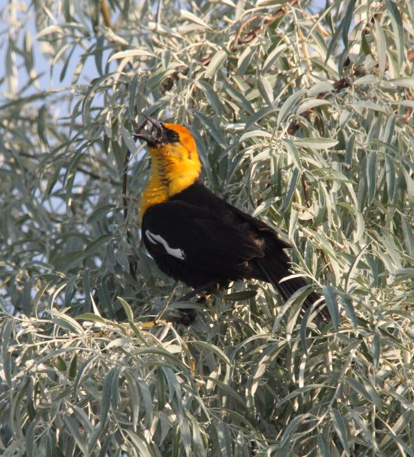 111. Yellow-headed Blackbird