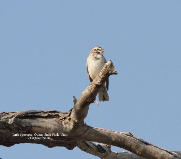 112a. Lark Sparrow