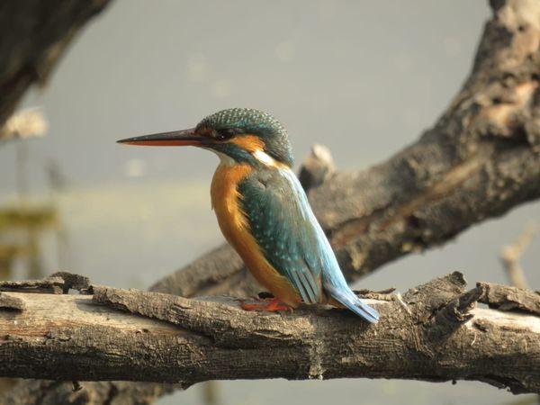 113. Common Kingfisher