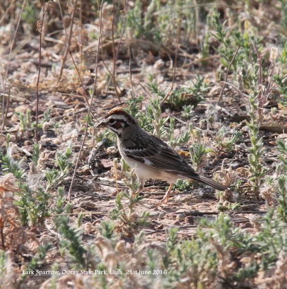 113. Lark Sparrow