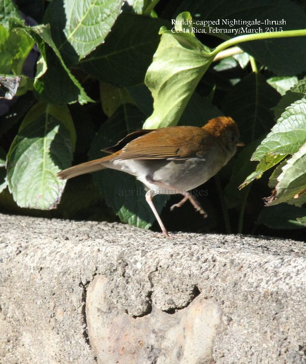 Ruddy-capped Nightingale-thrush (making a quick exit !!!)