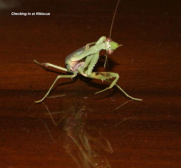 Preying Mantis ~ Checking in at Hibiscus !