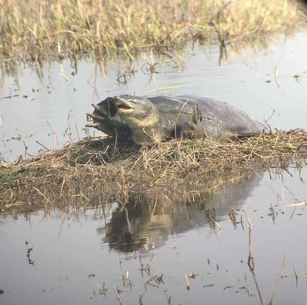 Indian Flapshell Turtle