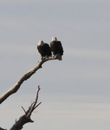 115z) Bald Eagle