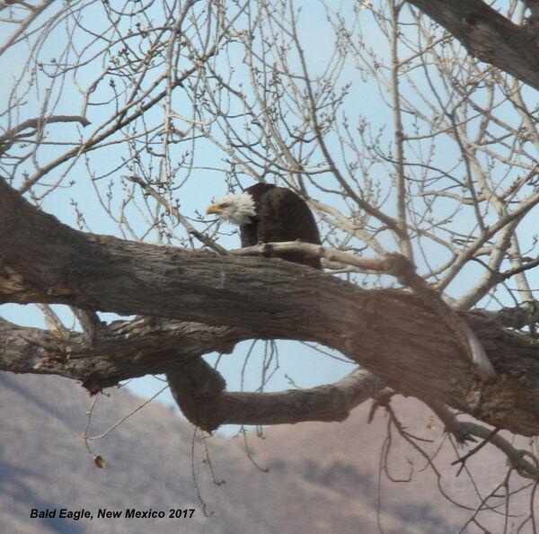 Bald Eagle, New Mexico