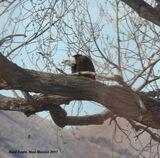 117z) Bald Eagle
