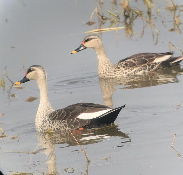 121. Spot-billed Duck