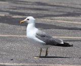 122. California Gull