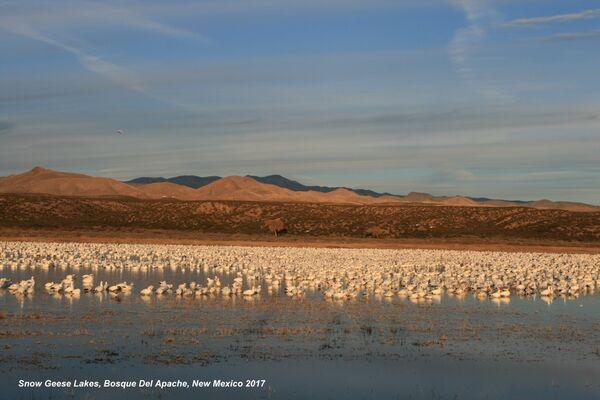 Snow Geese, Bosque Del Apache Lakes, New Mexico