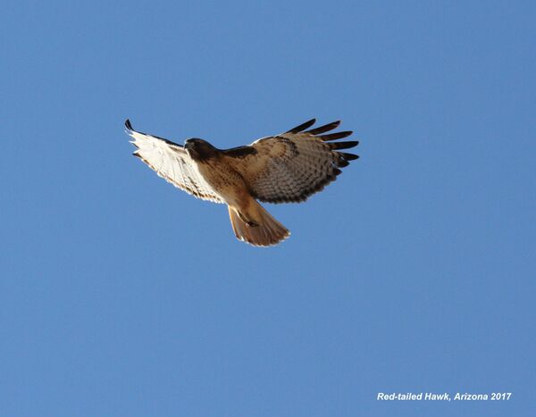 125z) Red-tailed Hawk