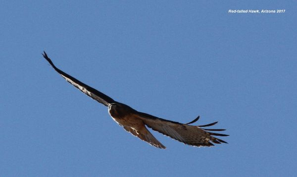 126z) Red-tailed Hawk