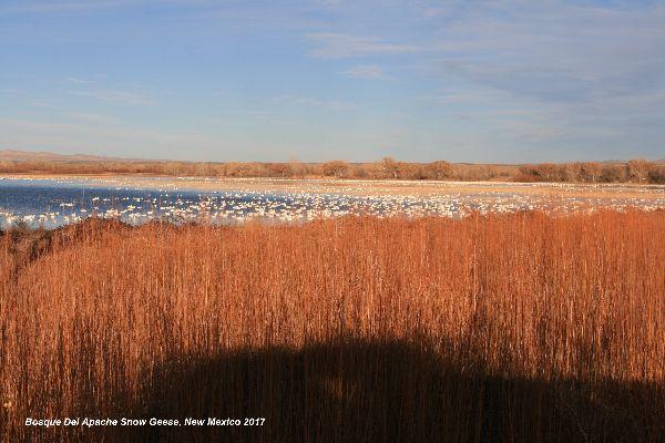 128) Bosque Del Apache Snow Geese