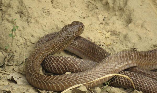 Common Cobra