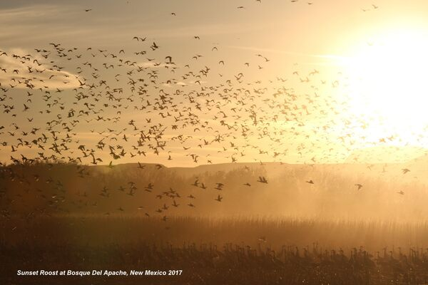 Sunset Roost, Bosque Del Apache, New Mexico
