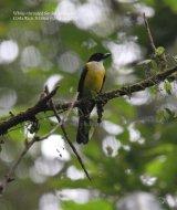 White-throated Shrike-tanager