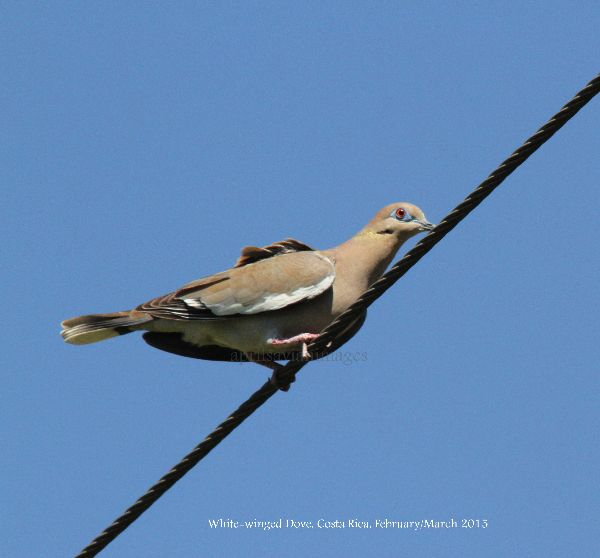 White-winged Dove.