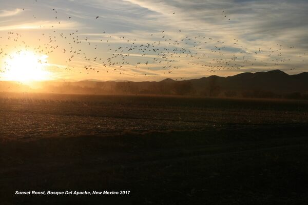 Bosque Del Apache Sunset Roost