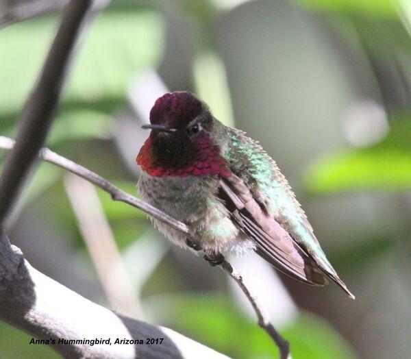 Anna's Hummingbird, Arizona