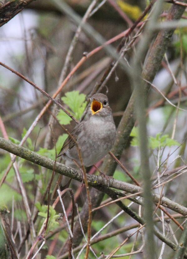 Thrush Nightingale, Pripyat River, Belarus