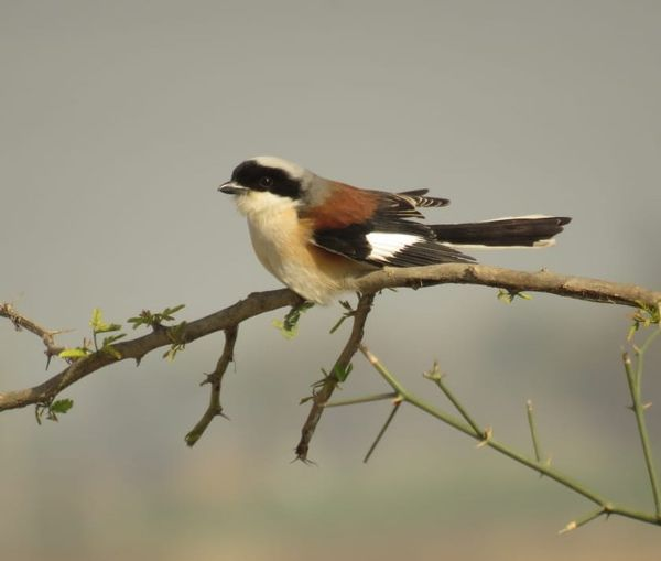 142a. Bay-backed Shrike