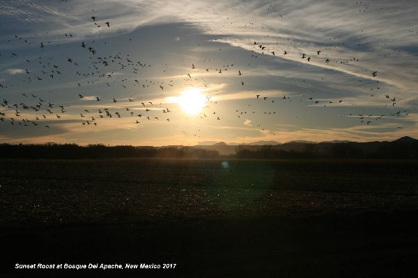 143) Bosque Del Apache Sunset Roost