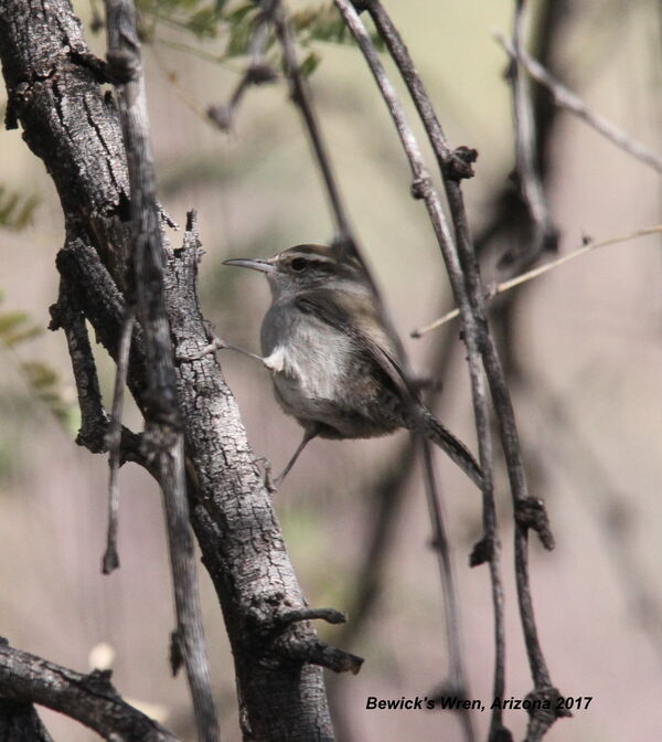 Bewicks Wren, Arizona