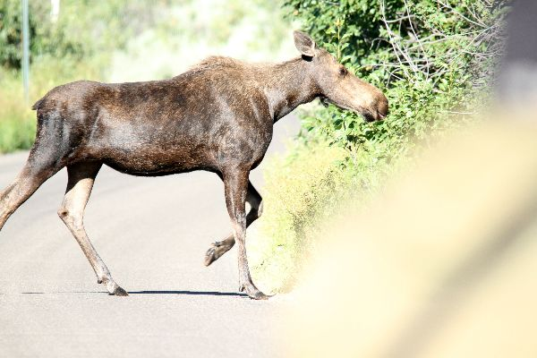 150. Moose