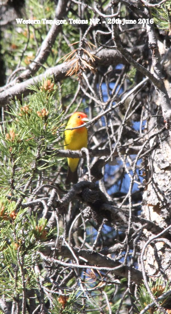 151. Western Tanager
