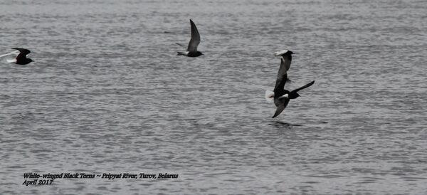 White-winged Black Terns, Pripyat River, Turov, Belarus