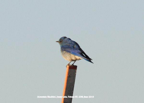 152. Mountain Bluebird