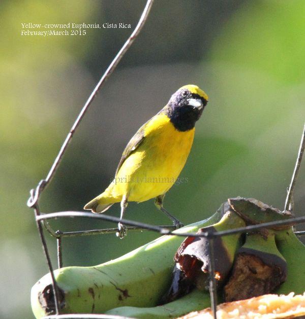 Yellow-crowned Euphonia