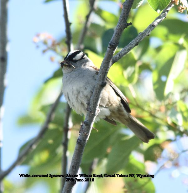 154. White-crowned Sparrow