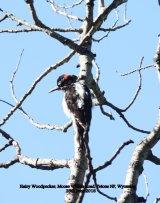 155. Hairy Woodpecker