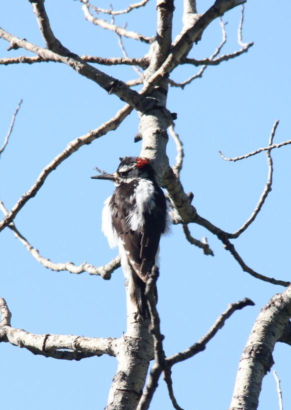 156. Hairy Woodpecker