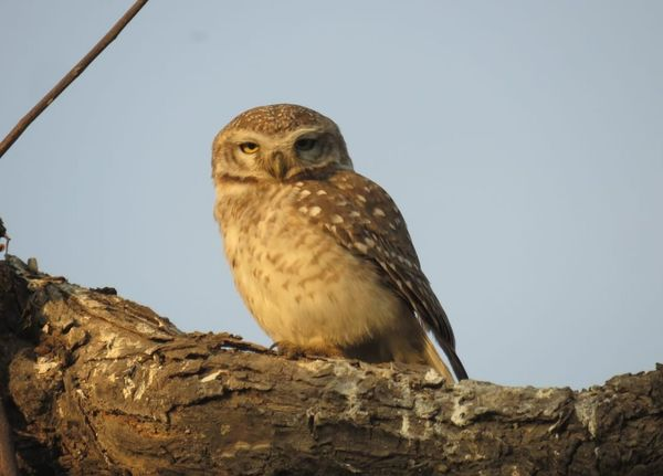 156. Spotted Owlet