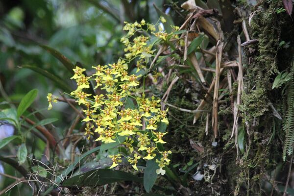 Chysis Orchid