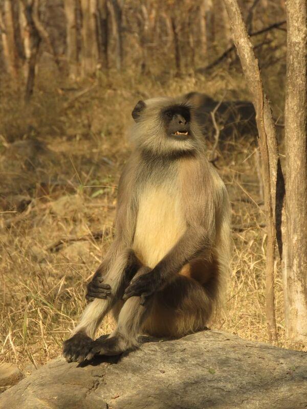 Nepal Grey Langur