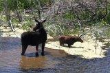 168a. Moose