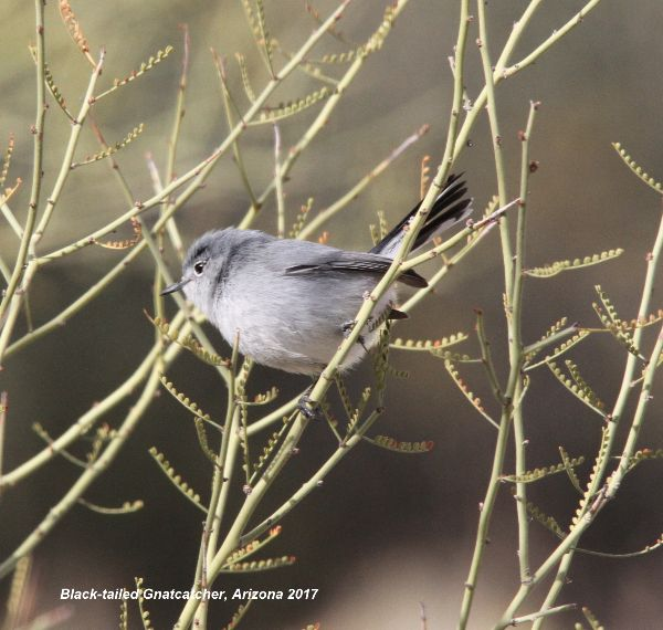 171z) Black-tailed Gnatcatcher
