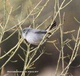 171z) Black-tailed Gnatcatcher