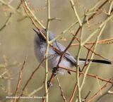 172z) Black-tailed Gnatcatcher